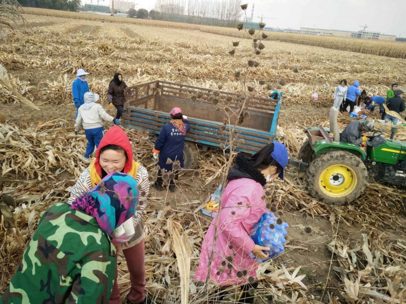 about-70-members-of-dongfeng-church-helped-harvest-corn-for-zhang-yuhong-on-oct-16-2017