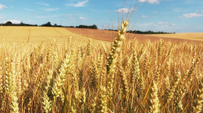 In the harvest time, golden wheat is to be reaped.
